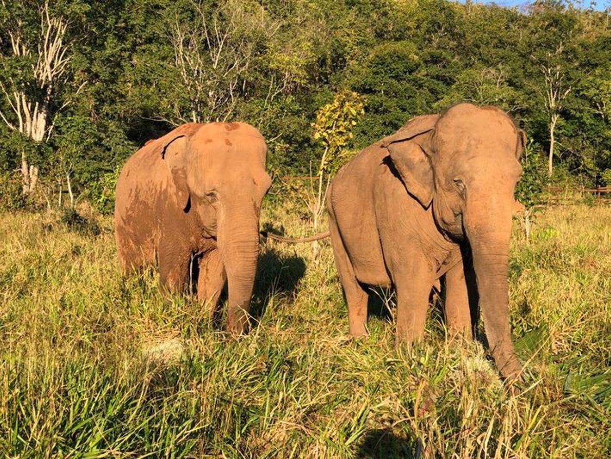 A elefanta Mara e sua nova companheira inseparável, Rana, no Santuário de Elefantes do Brasil.