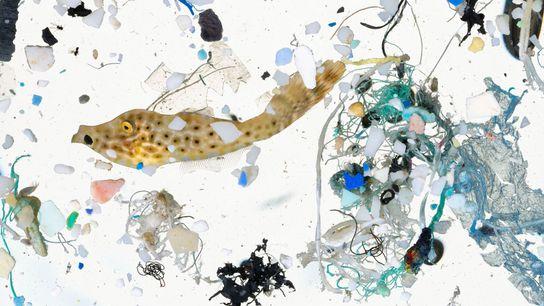 A vida marinha, como esse filefish, e pequenos pedaços de plástico foram coletados em uma amostra ...
