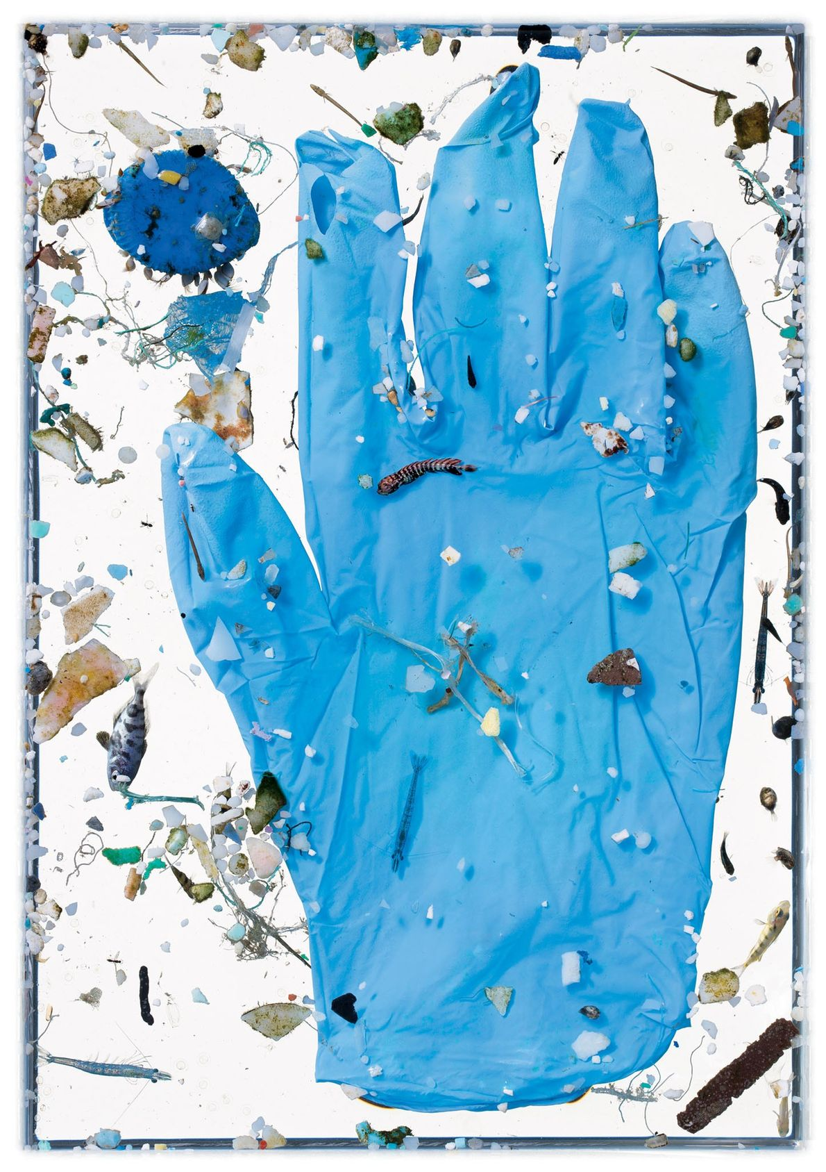 A luva azul não está na água há tempo suficiente para sofrer o destino da maioria ...