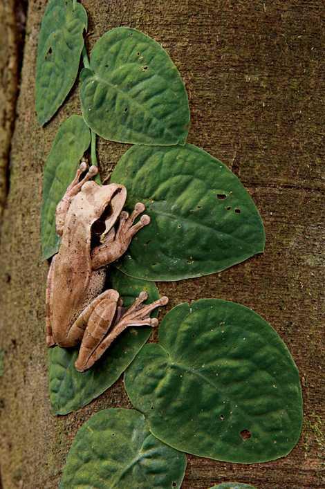 O anuro Smilisca phaeota, com um nome em inglês que faz referência à faixa escura em ...