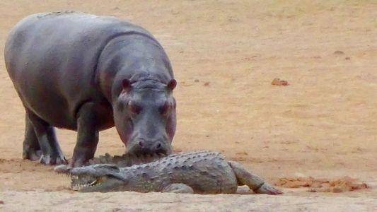 O que acontece quando um hipopótamo tenta brincar com um crocodilo