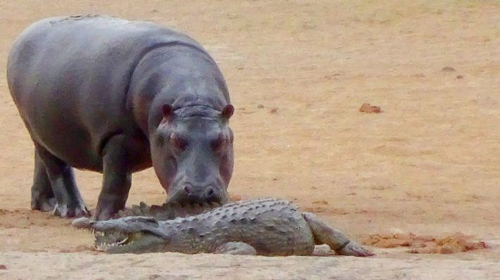 Jovem hipopótamo tenta brincar com crocodilo