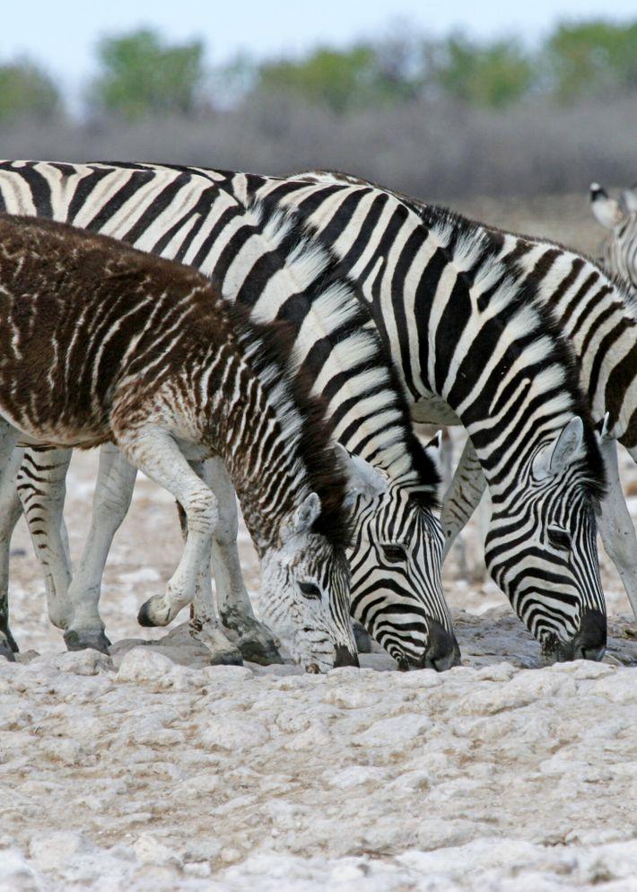 Filhote com pseudomelanismo, mutação genética rara em que os animais exibem algum tipo de anormalidade em ...