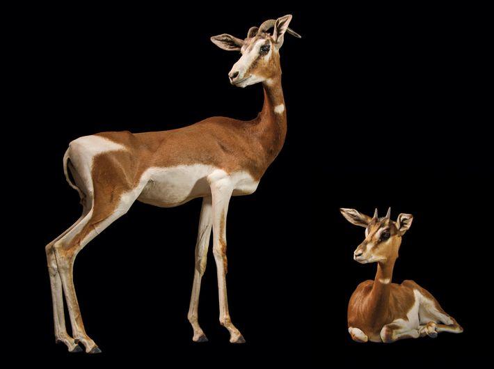 Esta subespécie de gazela já foi abundante em todo o oeste do Saara. Agora, existem menos ...