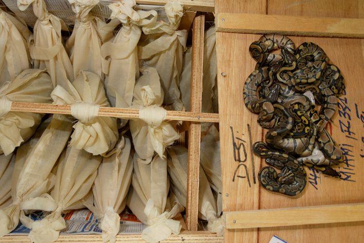 Uma remessa de pítons-reais vivas em sacos de pano, da África Ocidental com destino a Miami, ...