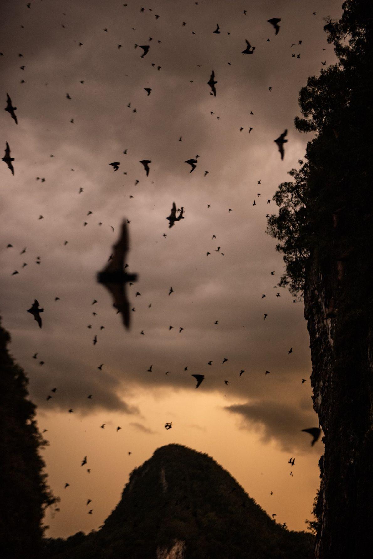 A Caverna dos Cervos de Bornéu abriga mais de dois milhões de morcegos de várias espécies, ...
