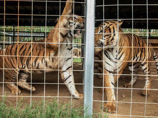 Zoológico de 'Tiger King' perde a licença e dono já planeja uma nova atração com animais