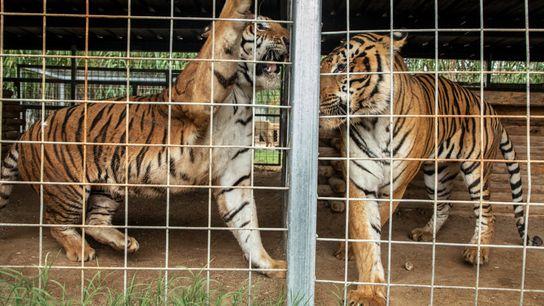 Na foto, dois tigres no Parque de Animais Exóticos Greater Wynnewood, em setembro de 2018. Em ...