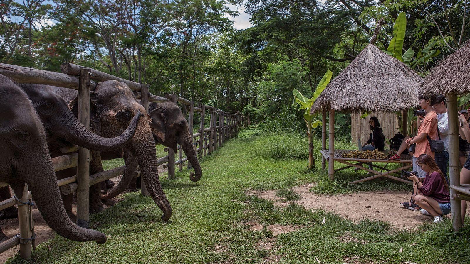 No Vale dos Elefantes em Chiang Rai, na Tailândia, os turistas são instruídos a observar os ...