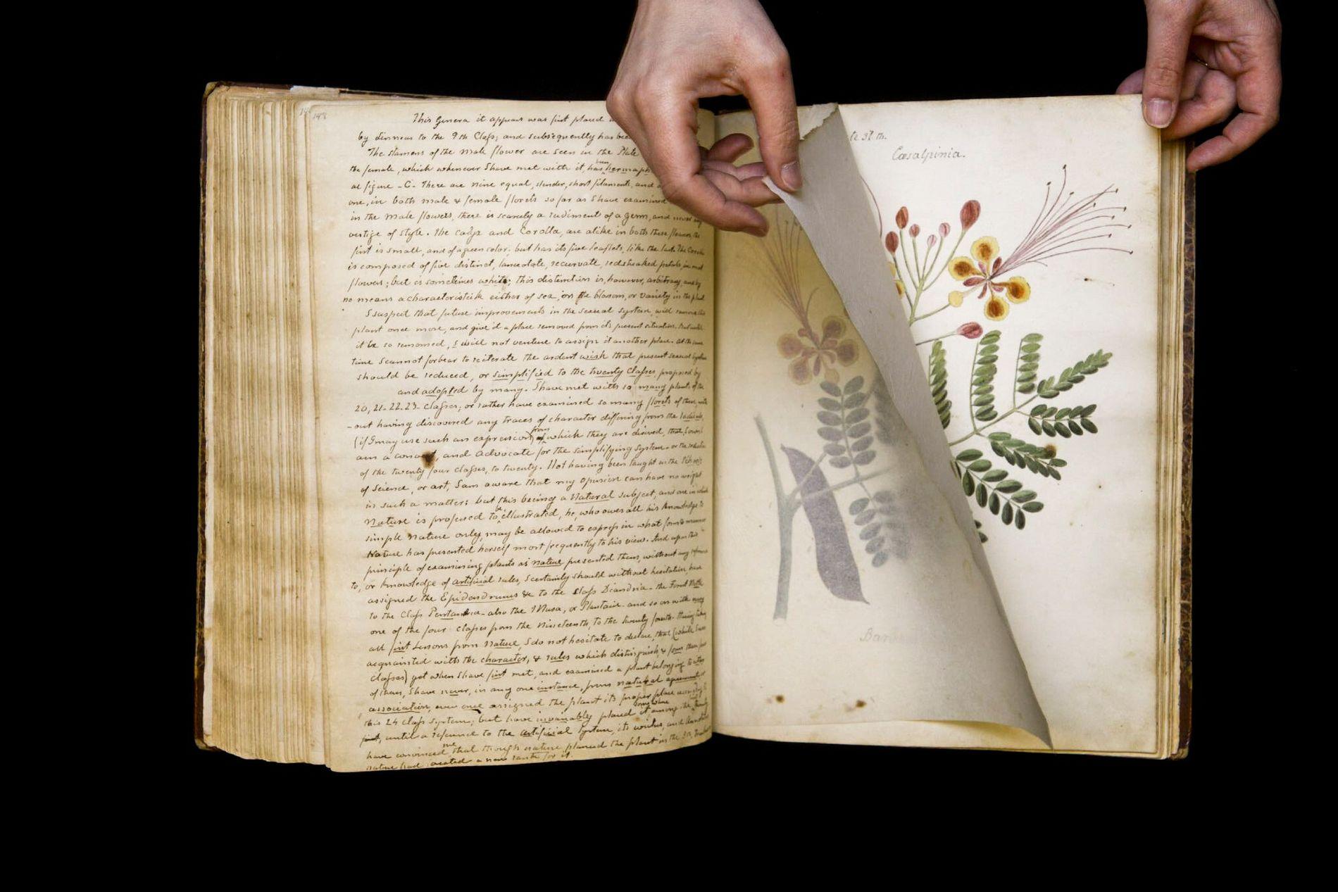 A Caesalpinia pulcherrima é uma espécie de arbusto com flores encontrada nos trópicos e subtrópicos das ...