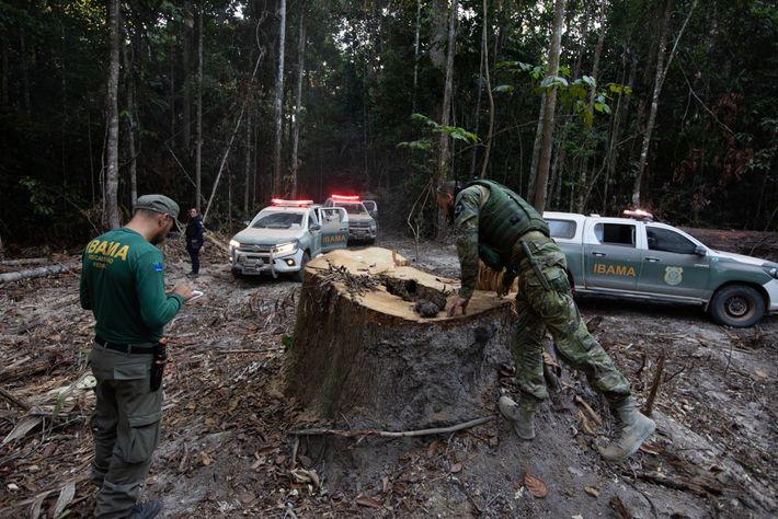Fiscais do Ibama analisam árvore cortada por desmatadores em Boa Vista do Pacarana, Rondônia. Em decisão da ...