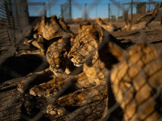 África do Sul planeja acabar com controversa indústria de leões cativos