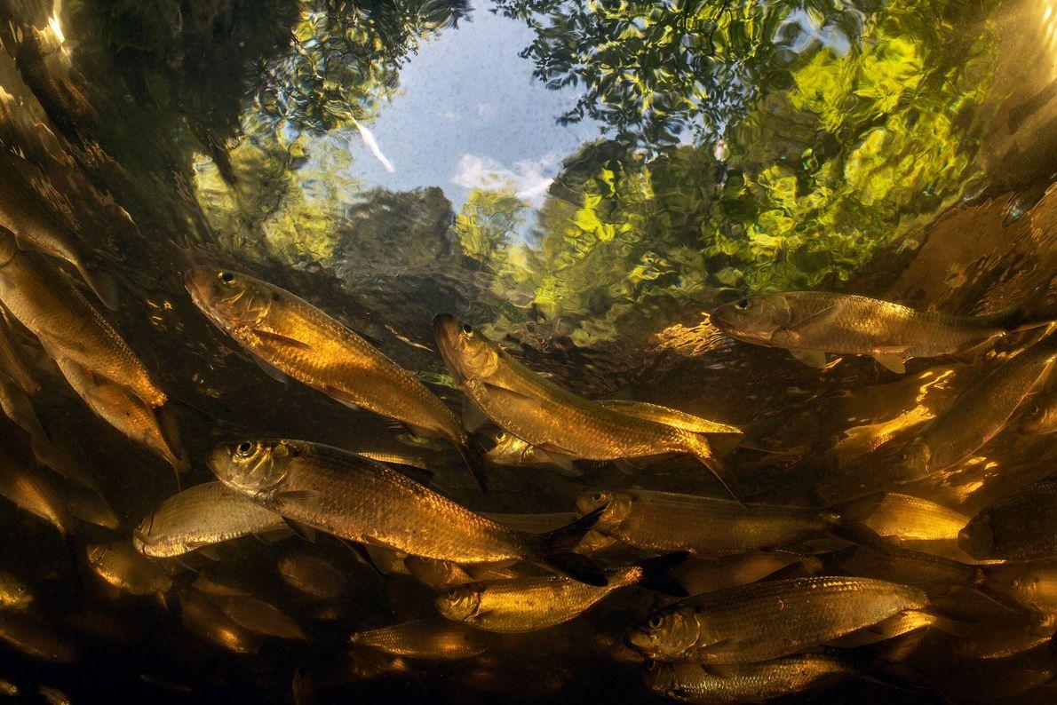 O Maine foi o pioneiro na remoção de barragens para restaurar as migrações de salmão. Agora, ...