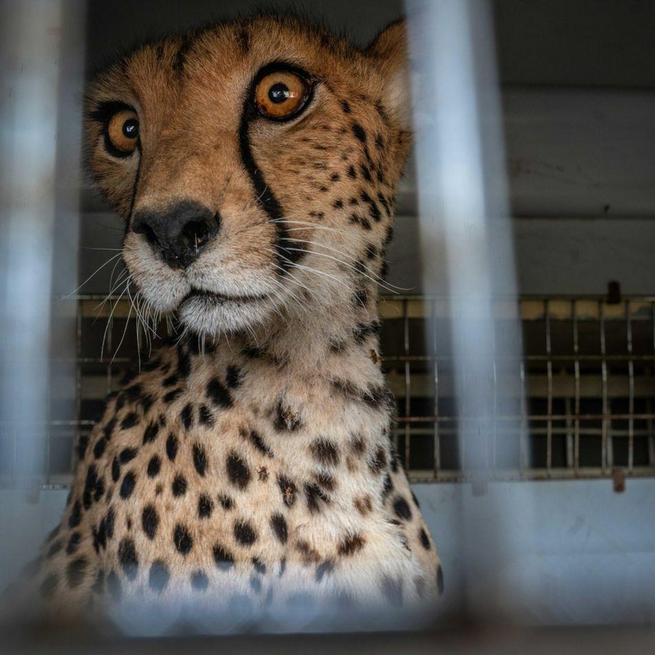 Operação frenética de três dias para salvar guepardo ferido registrada em fotos