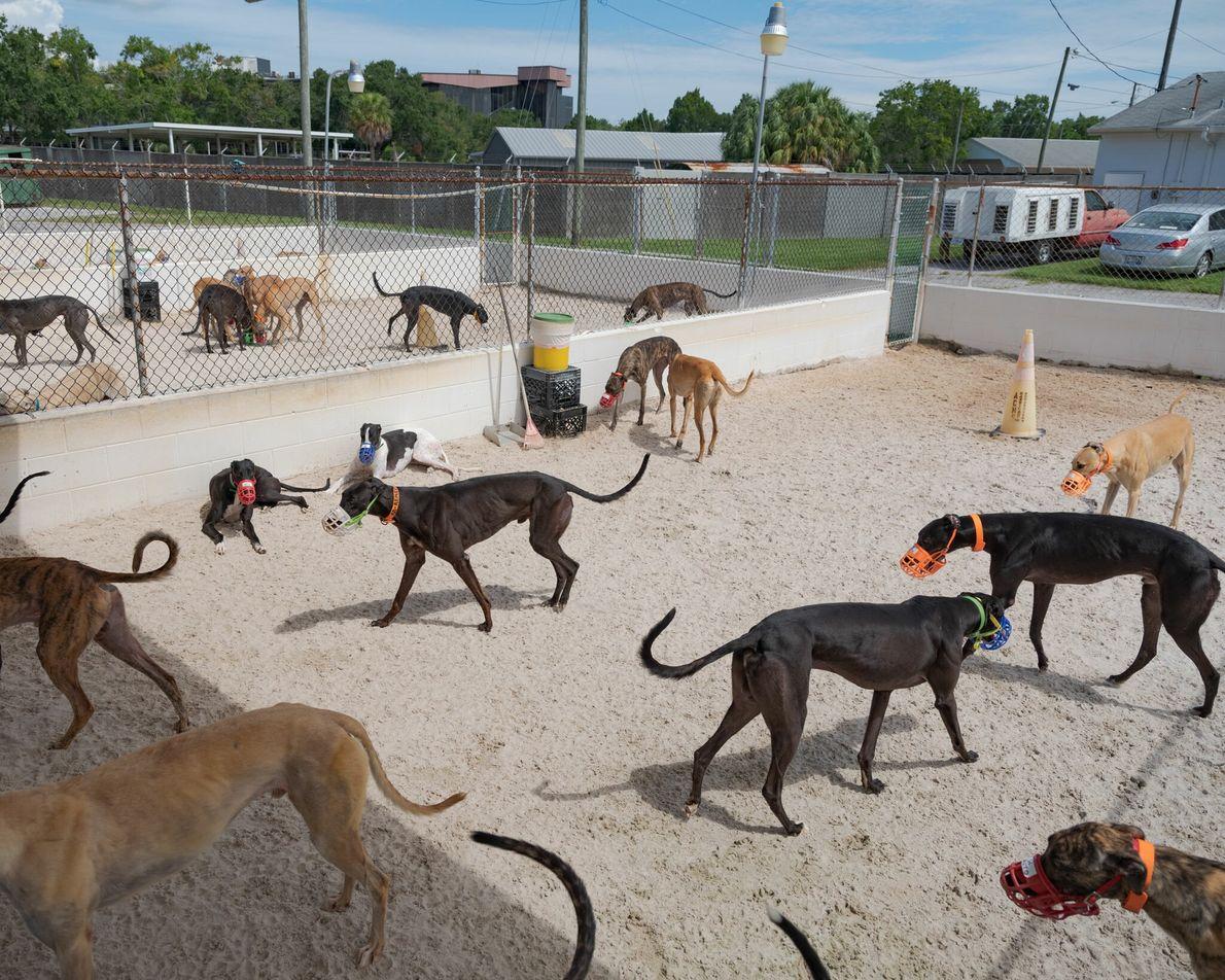 Galgos de corrida em um canil na Flórida. Embora geralmente dóceis e inofensivos, os cães costumam ...