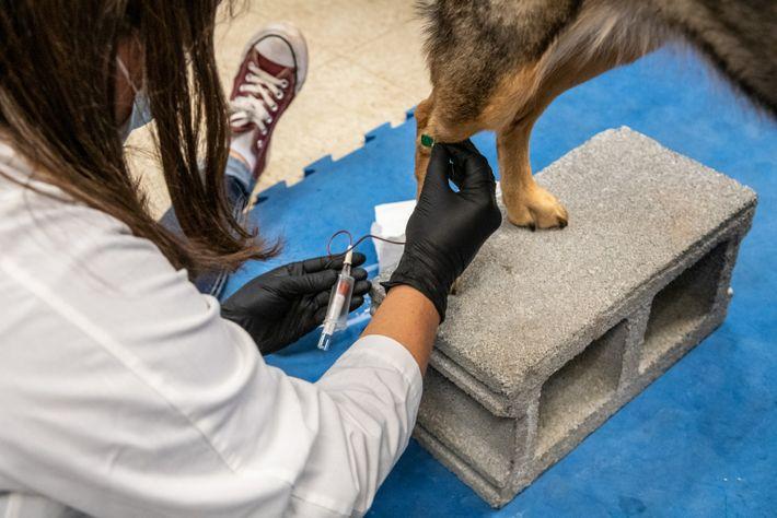 Os pesquisadores coletam amostras de sangue e esfregaços bucais antes do início do estudo para garantir ...