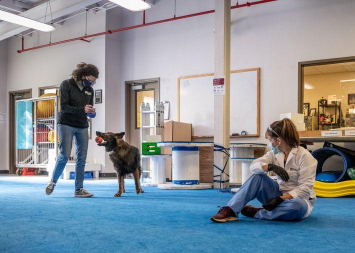 Cynthia Otto, diretora do Centro para Cães de Trabalho, durante sessão de adestramento com Rico, um ...