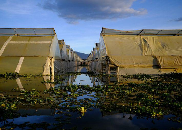 Propriedades produtoras de flores cercam o lago Naivasha. Essas estufas — construídas muito próximas ao lago ...