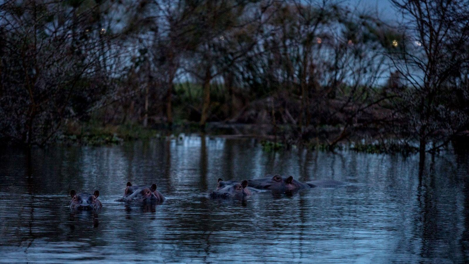 Hipopótamos se banham no lago Naivasha, em parte da reserva natural Sanctuary Farm, anteriormente uma área ...