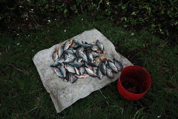 Tilápias pescadas no lago Naivasha em uma lona. Uma tilápia pequena pode custar 20 xelins apenas ...