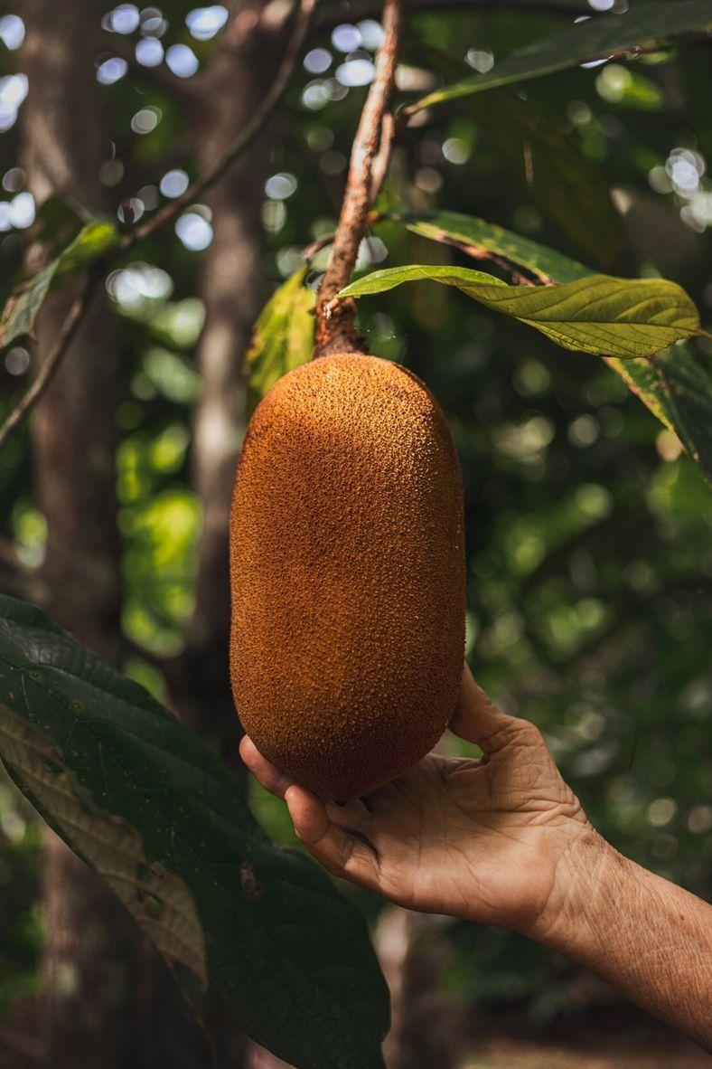 cupuaçu-fruit