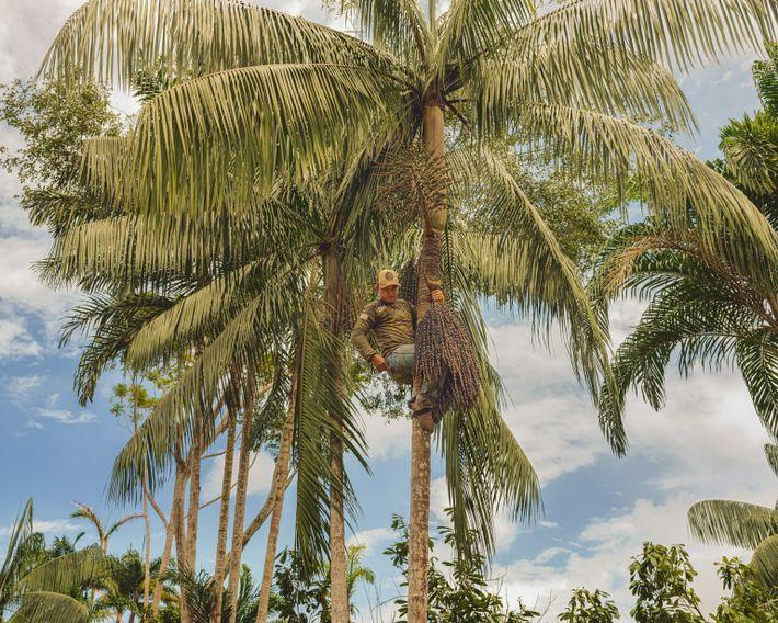 harvesting-açaí