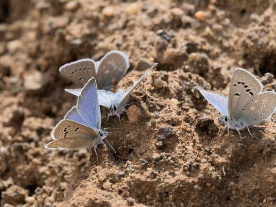 450 espécies de borboletas estão em rápido declínio devido a temperaturas mais altas