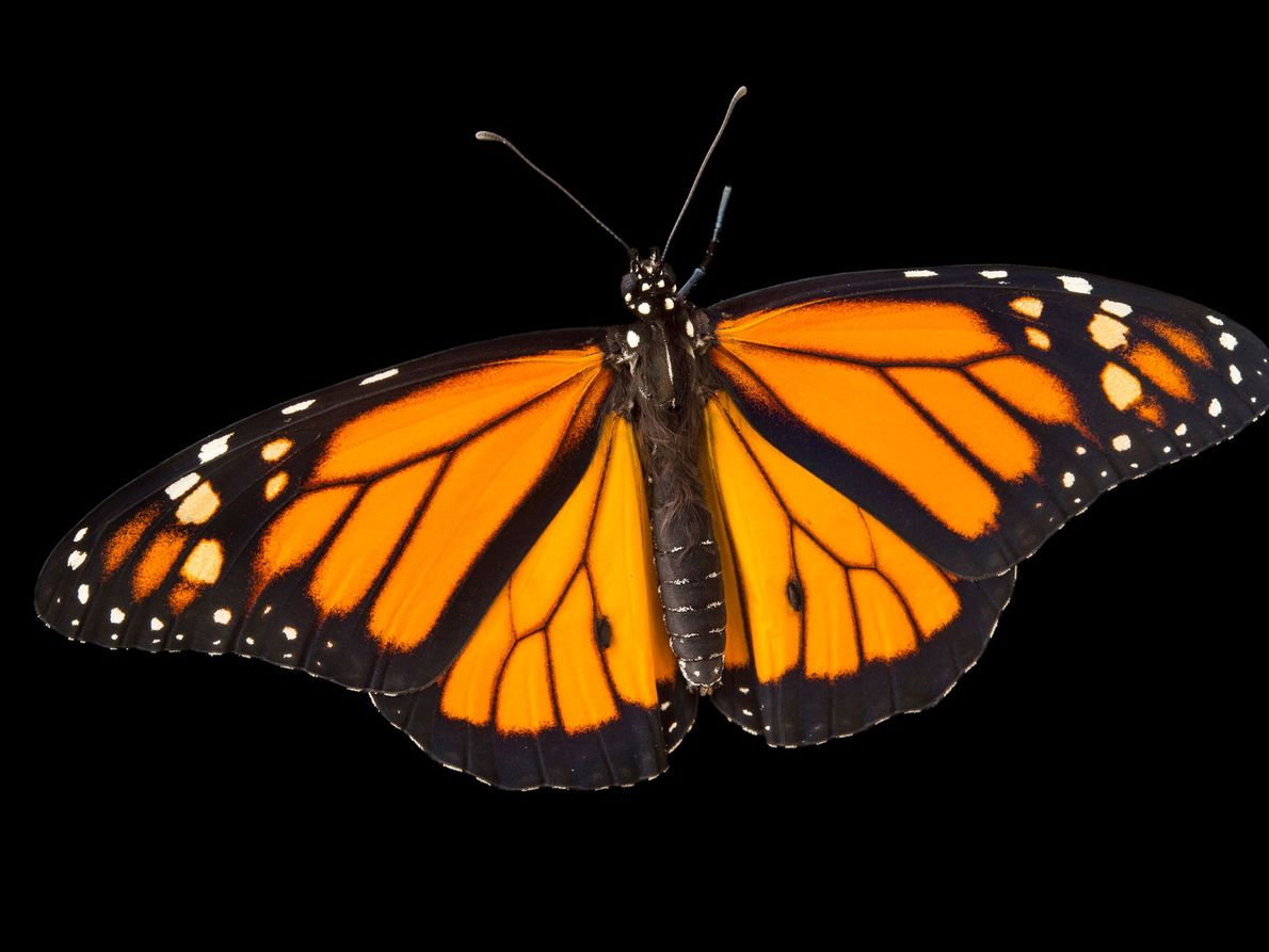 Borboleta-monarca, Danaus plexippus (não avaliada) – Algumas monarcas migratórias dependem de habitat no México, EUA e ...