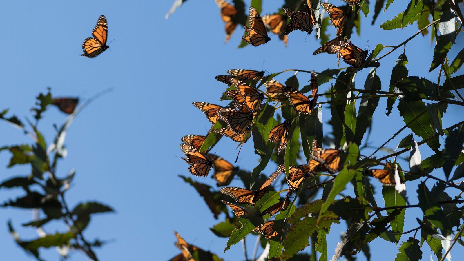 Milhares de borboletas-monarca se agrupam em um eucalipto em Fremont, Califórnia, em 2018. Em 2020, menos ...