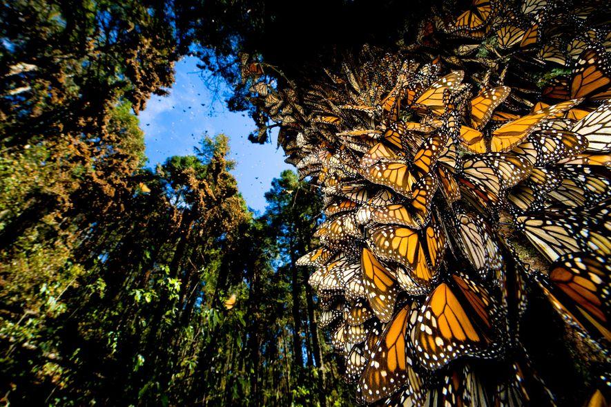 Em dias calmos, as árvores ganham vida com o as asas de milhões de borboletas monarcas.