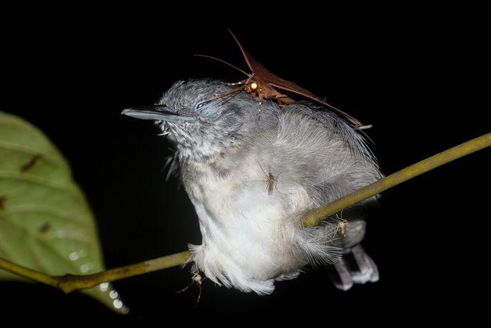 Esta mariposa (Gorgone macarea) pode beber as lágrimas dos pássaros, como este solta-asa-do-norte, para obter uma ...