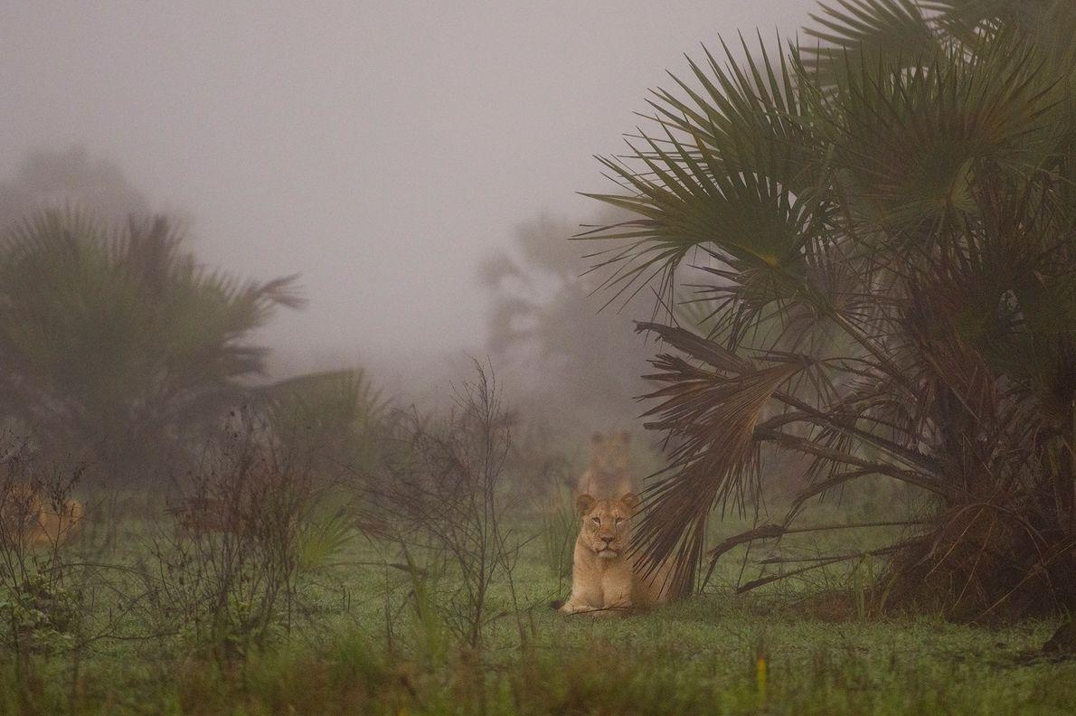 Os leões, que foram soltos e receberam colares em uma região remota do Delta do Zambeze, ...