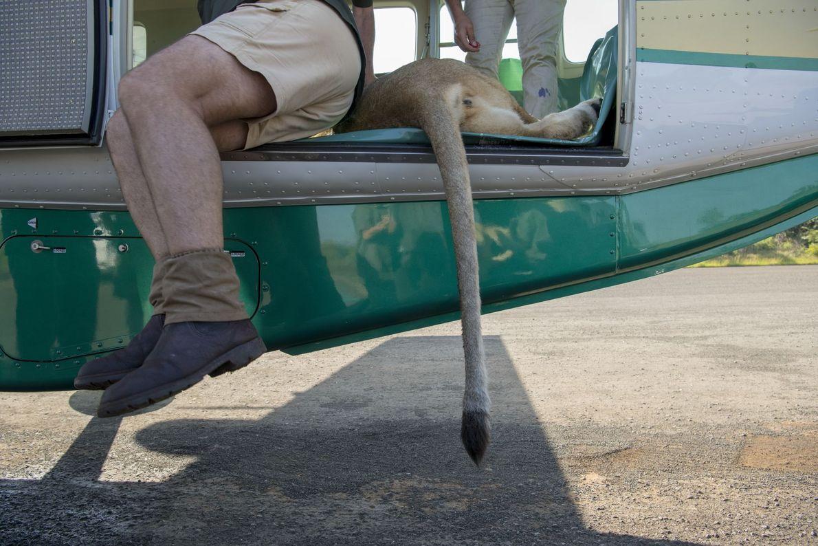 Nove de 24 leões foram sedados e levados em helicópteros das reservas de caça de Tembe ...