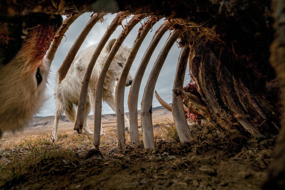Lobos se alimentam dos restos de um boi-almiscarado. Para conseguir esta imagem, o fotógrafo Ronan Donovan ...