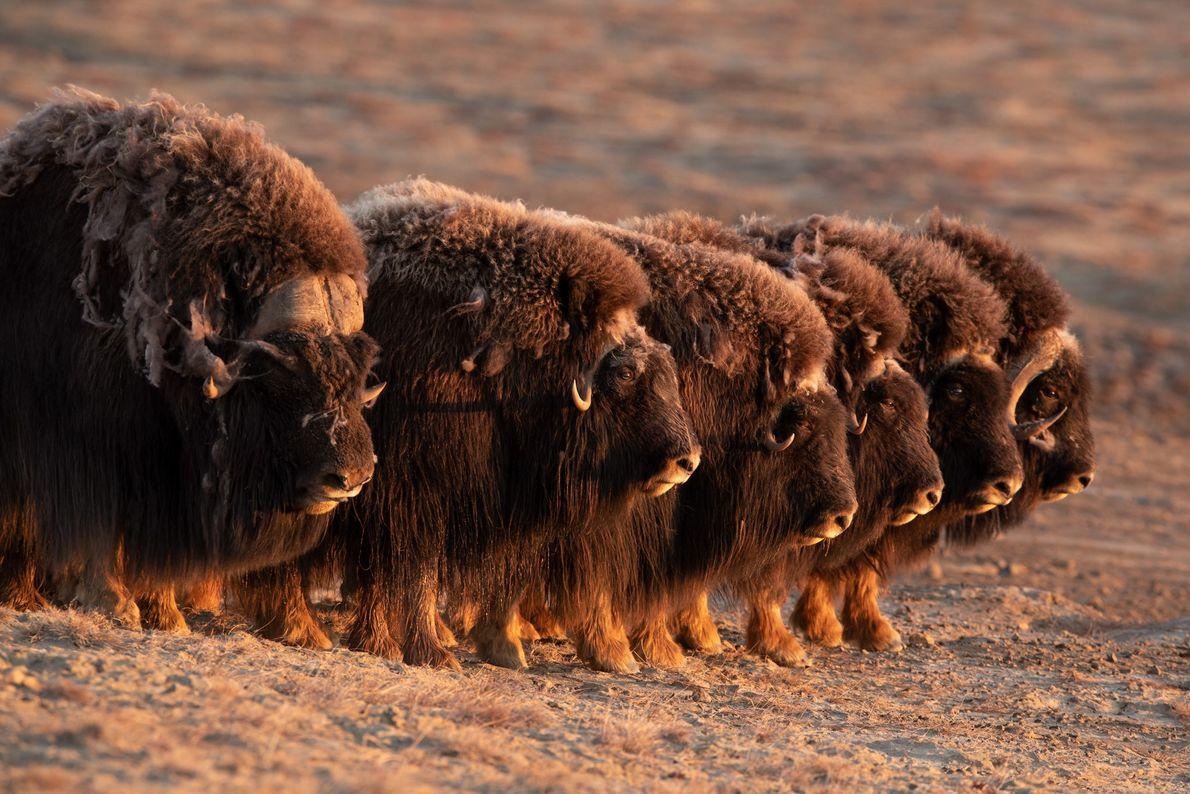 O boi-almiscarado é um dos únicos animais que, quando atacado por predadores, atua em grupo, formando ...