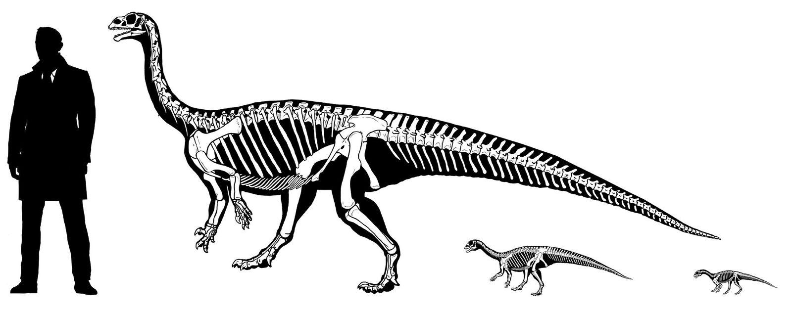Quando filhote, o dinossauro Mussaurus patagonicus  andava sobre quatro apoios. Porém, à medida que crescia, ...