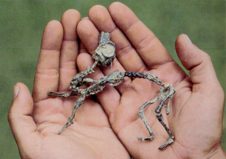 O filhote de Mussaurus patagonicus era tão pequeno que cabia na palma da mão de um ...