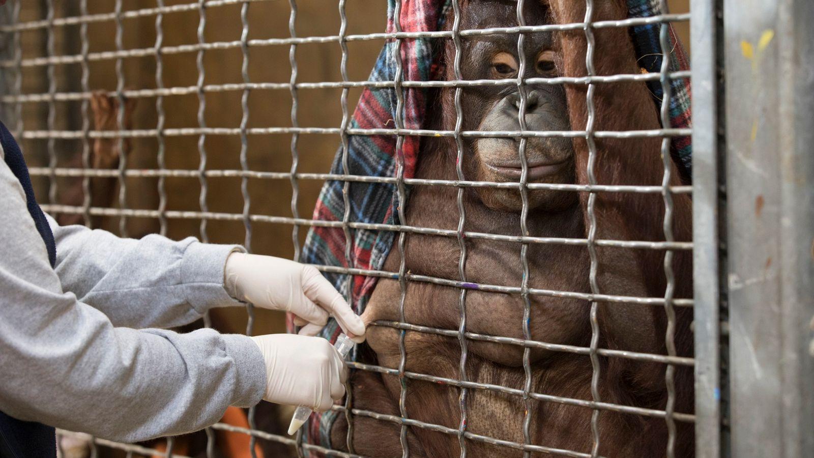 Batang, uma orangotango-de-bornéu, permite que seu tratador, Erin Stromberg, ordenhe uma pequena quantidade de leite com ...