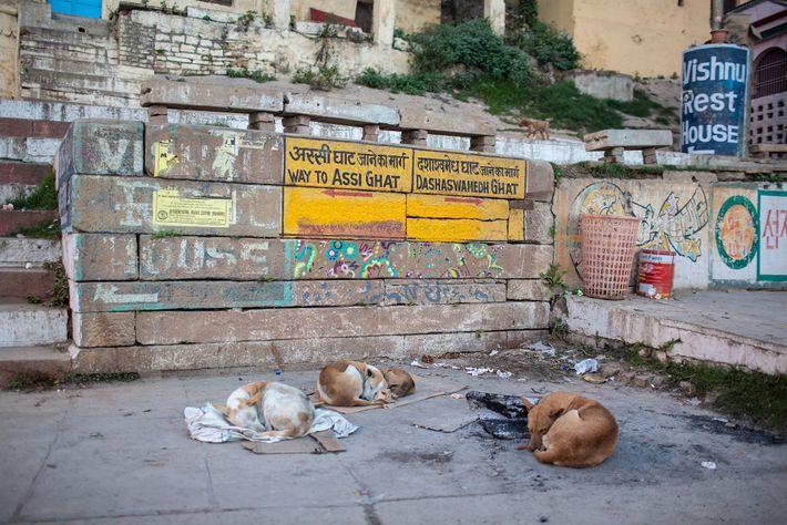 Cães dormem sobre pedaços de papelão para fugir do chão frio de Varanasi.