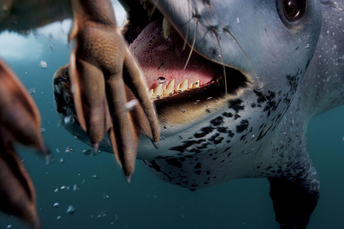 2006  Velozes e ágeis, as focas-leopardo são hábeis na caça de presas. Mas no contato com humanos, ...