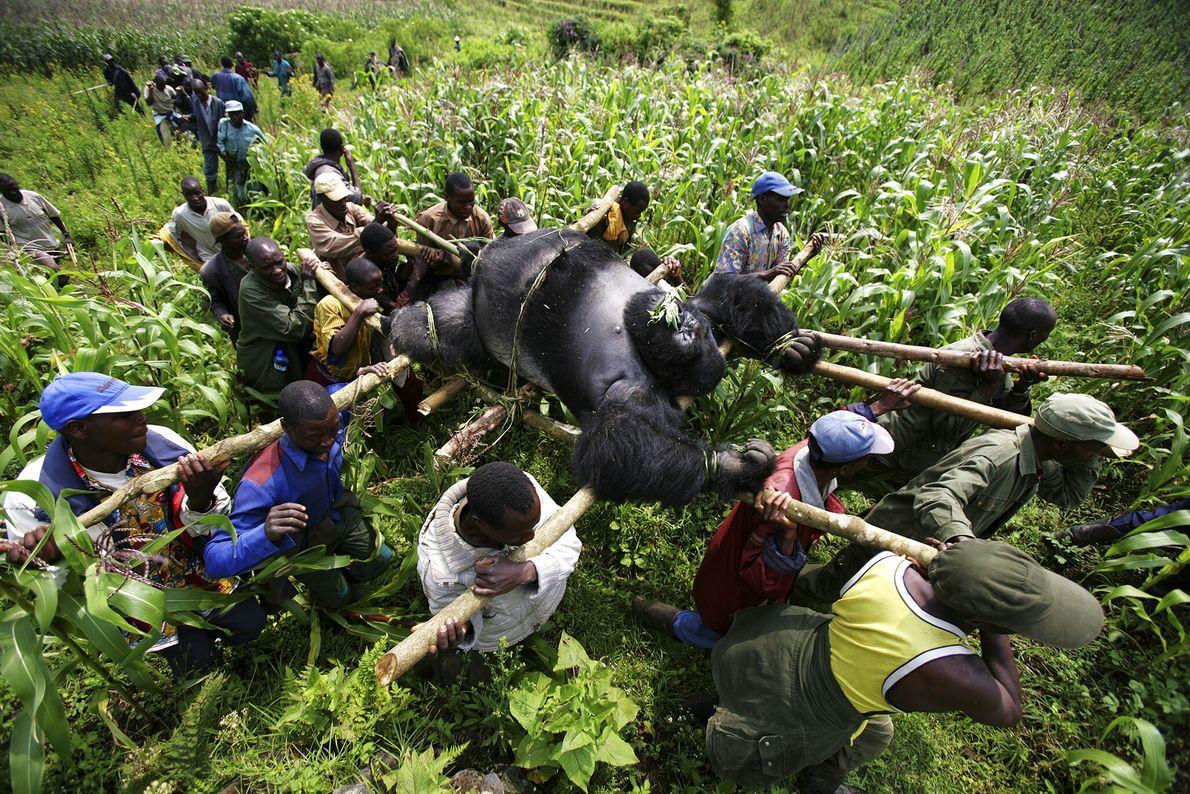 2007  Em 2007, restavam apenas cerca de 720 gorilas-das-montanhas em todo o mundo quando sete foram encontrados ...