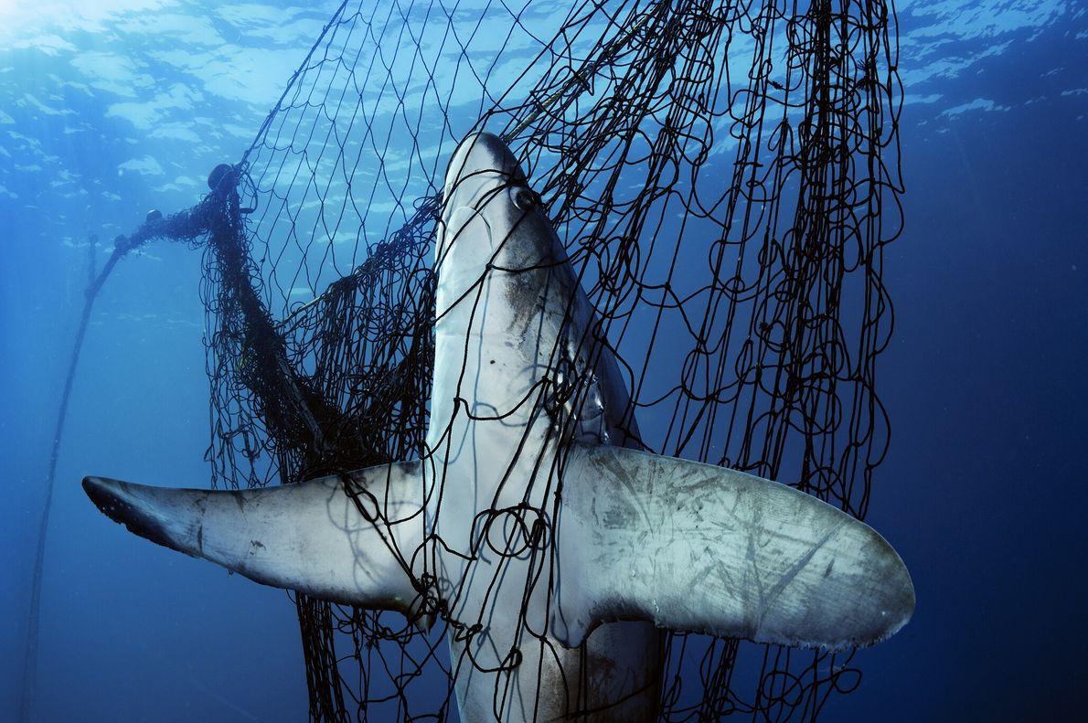2005  Tubarão-raposa é fatalmente capturado em uma rede de pesca no Golfo da Califórnia, no México. Quando ...