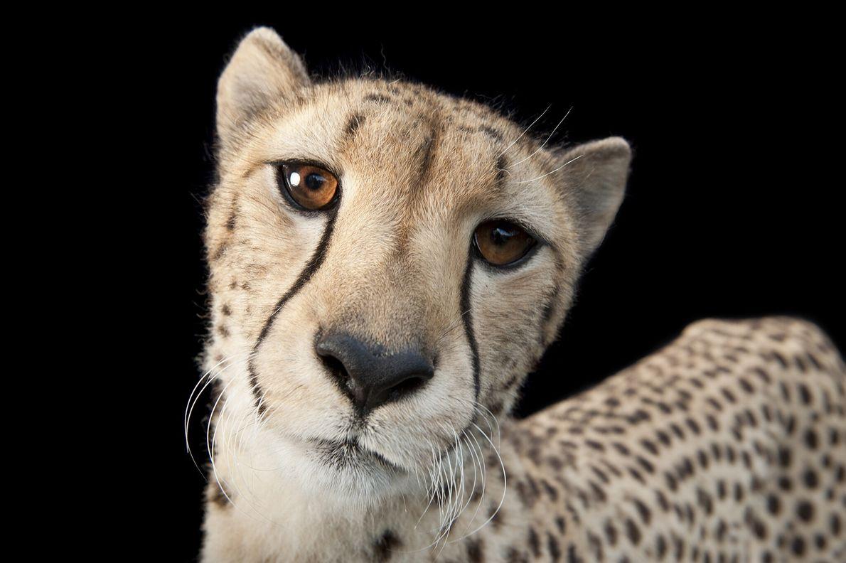 2011  Joel Sartore, fotógrafo da National Geographic, capturou esta imagem de um guepardo de 3 anos de ...