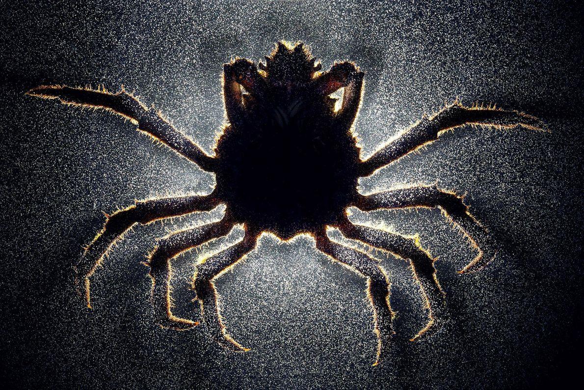 2012  Observe mais de perto: este não é um caranguejo-aranha macho comum, mas sim um crustáceo zumbi ...