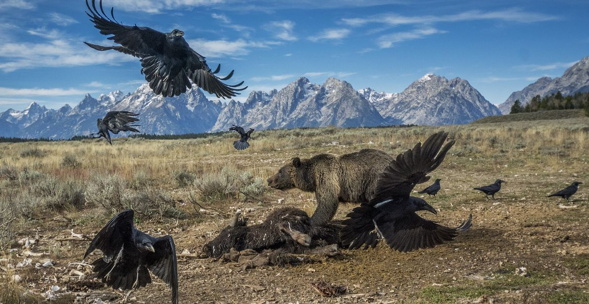 2014  Era arriscado ser um urso-pardo no século 20. Ameaçados pela caça e perda de habitat, o ...