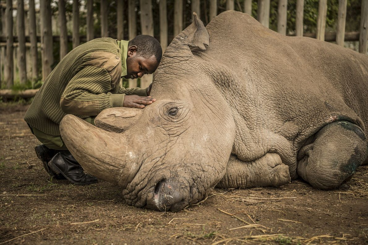 2018  Guarda-florestal conforta Sudan, o último rinoceronte-branco macho do norte do planeta, momentos antes do falecimento do ...