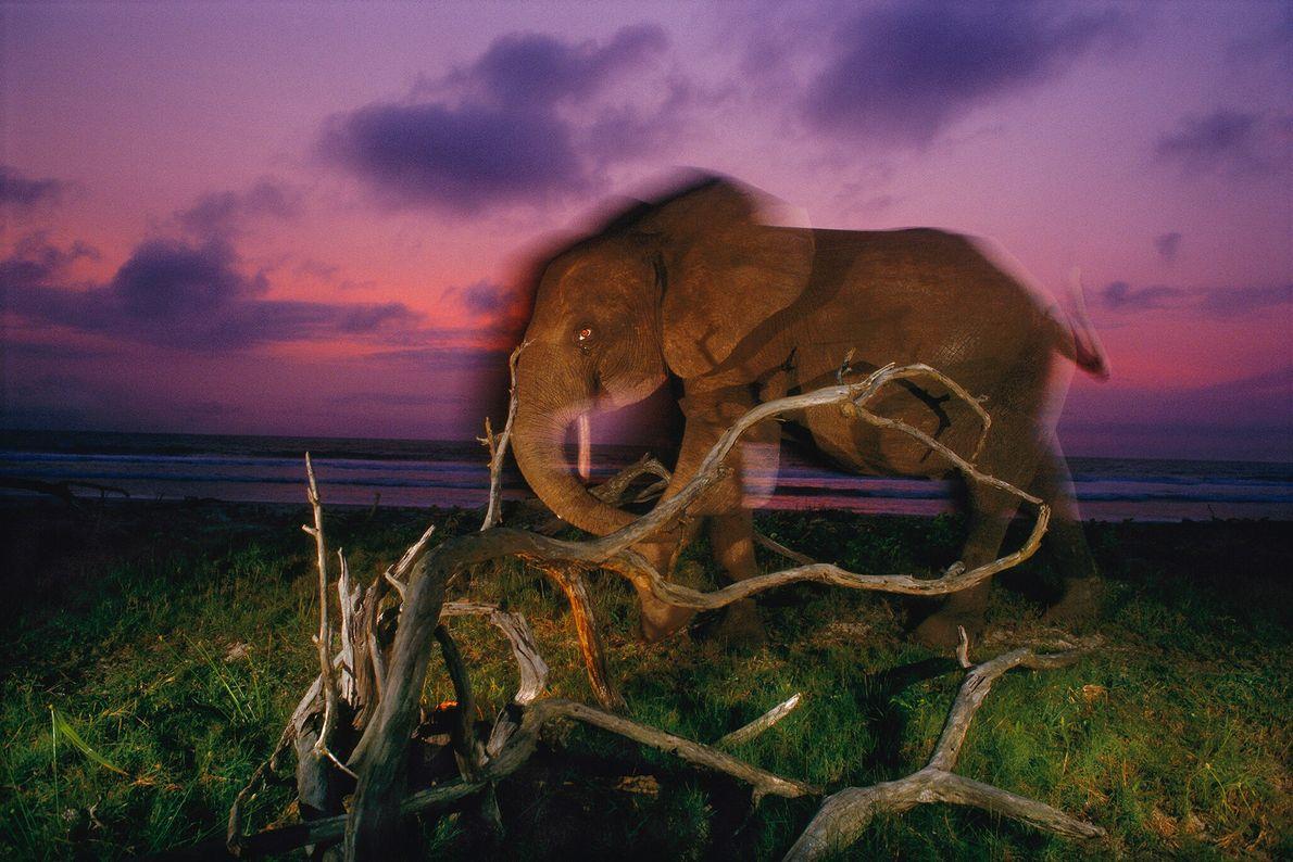 2000  Elefante-da-floresta caminha ao longo das costas do sudoeste do Gabão. No início do século, o ecologista ...