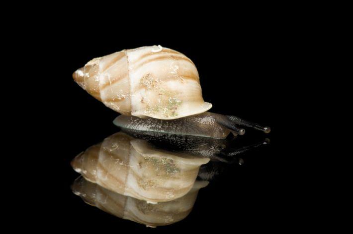 Caracol da espécie Partula nodosa fotografado no zoológico de Saint Louis, nos EUA.