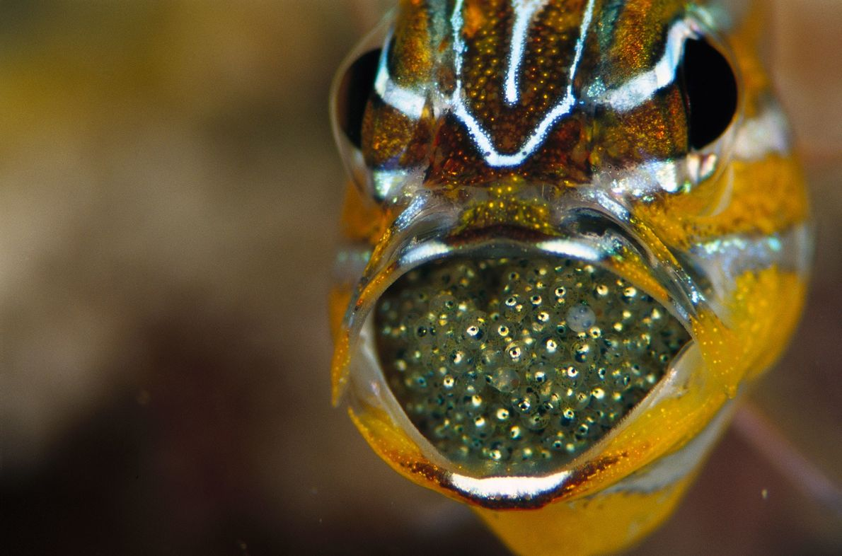 Peixes Apogonidae  Para muitas espécies, os pais precisam dar uma mãozinha. No caso dos peixes da família Apogonidae, ...