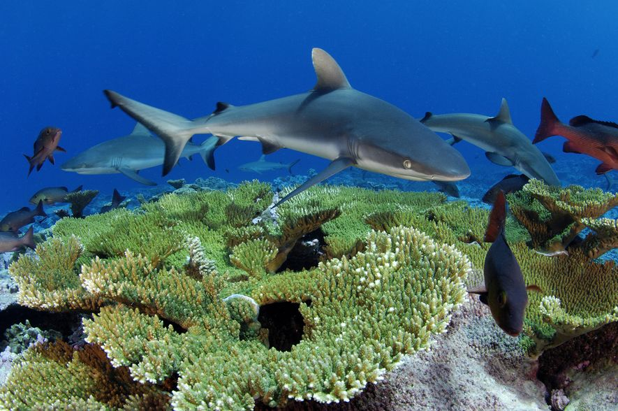 Recifes de corais como o Kingman, localizado no meio do Oceano Pacífico, são importantes berçários para ...